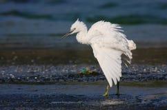 egret trochę zdjęcie stock