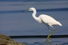 egret trochę Obrazy Stock