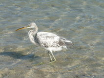 egret trochę Obraz Stock