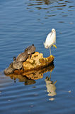 Egret and turtles on rock Stock Image