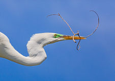 Egret with Twig Stock Image