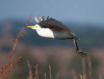 Egret undercarriage extended Stock Photography