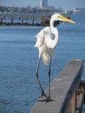 Egret utrzymuje zamkniętego oko na widzu obrazy stock