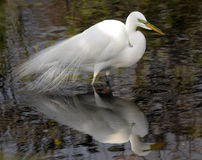 Egret Veil Royalty Free Stock Photos