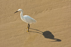 Egret at Venice Beach. Egret and shadow on Venice Beach, California royalty free stock photo