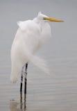 Egret ventoso imagem de stock