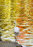 Egret With Reflection. An Egret taken in vivid water reflection Royalty Free Stock Photo