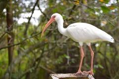 Egret właśnie chillin zdjęcie royalty free