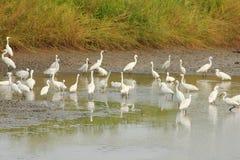 Egret w bagnie Fotografia Stock