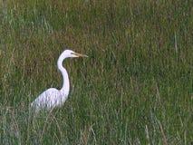 Egret w Trawiastym polu Obrazy Stock