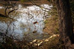 Egret wading в озере и охотиться Стоковая Фотография RF