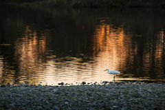 Egret wading the shallows of the river. Of Tamagawa, Tokyo, Japan at dusk Stock Photography