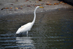 Egret Wading by the shore Stock Image