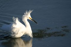Egret wading in water. Egret wading in shallow water on a windy day royalty free stock photo