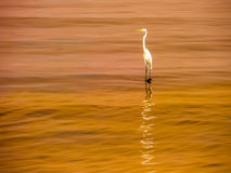 Egret wait hunting on the sea surface Royalty Free Stock Photography