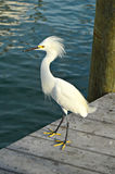 Egret Waiting for Dinner Royalty Free Stock Photos