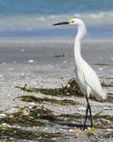 Egret Walking Royalty Free Stock Photo