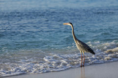 Egret walking on the beach Royalty Free Stock Photography