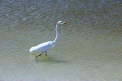 Egret walking Stock Photos