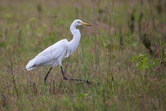 Egret walking. Egret seen see walking from close, in India Royalty Free Stock Photography
