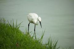 Egret walking on the water. stock photos