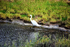Egret Walking Stock Photos