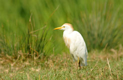 Egret walks through the rice fields Stock Photo