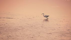 An egret walks on the water of the lagoon at sunset stock footage
