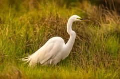 Great White Egret perched in the grass stock images