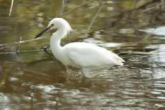 Egret in the water. Detailed snowy egret standing in the water. Photo taken in Nassau Bahamas Stock Images