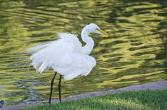 Egret by the Water Royalty Free Stock Image