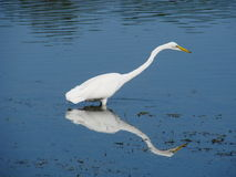 Egret in water. A view of an egret with its long neck extended, standing in shallow water along the side of a lake Stock Photography