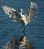 Egret on water Royalty Free Stock Photography