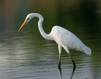 Egret in water Royalty Free Stock Photo