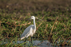 Egret by the water Stock Images