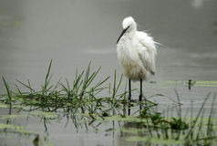 An egret in water Royalty Free Stock Images