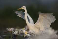 Egret in water lily pond. Egret close up in water lily pond stock photo