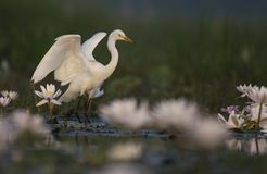 Egret in water lily pond. THe Egret fishing in water lily pond royalty free stock photography