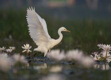 Egret in water lily pond. The Egret in water lily pond stock photography