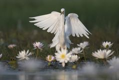 Egret in water lily pond. The Egret in water lily pond stock photos