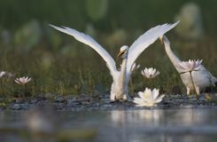 Egret in water lily pond. Egret fishing in water lily pond stock photo