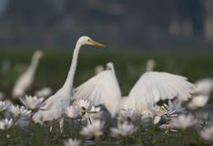 Egret in water lily pond. Flock of Egrets in water lily pond royalty free stock image