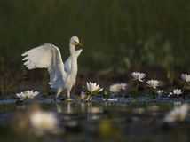 Egret in water lily pond. The Egret in water lily pond at sunbrise royalty free stock images