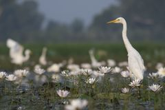 Egret in water lily pond. At sunrise royalty free stock image