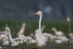 Egret in water lily pond. At sunrise royalty free stock photos