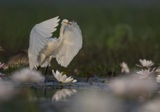 Egret in water lily pond. The Egret taking off in water lily pond royalty free stock images
