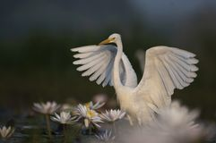 Egret in water lily pond. White Egret in water lily pond stock photo