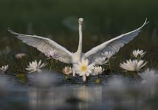 Egret in water lily pond. White Egret in water lily pond royalty free stock images