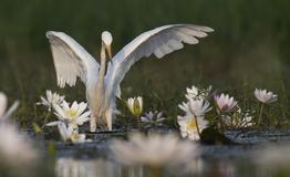 Egret in water lily pond. White Egret in water lily pond stock images
