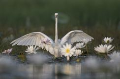 Egret in water lily pond. White Egret in water lily pond stock image